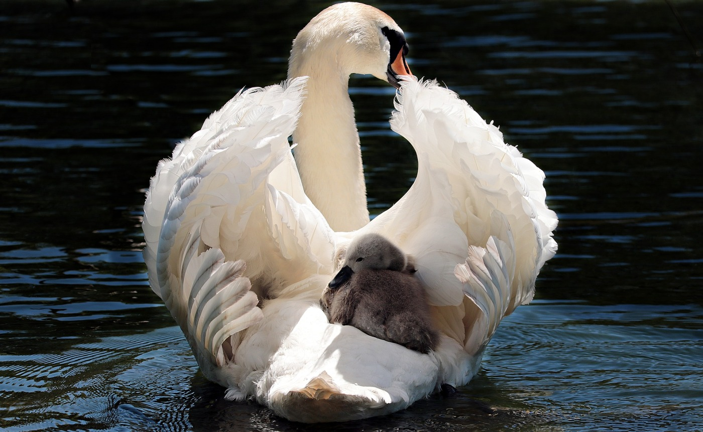 Photo by pixel2013. https://pixabay.com/photos/swan-baby-swan-white-white-swan-2350668/