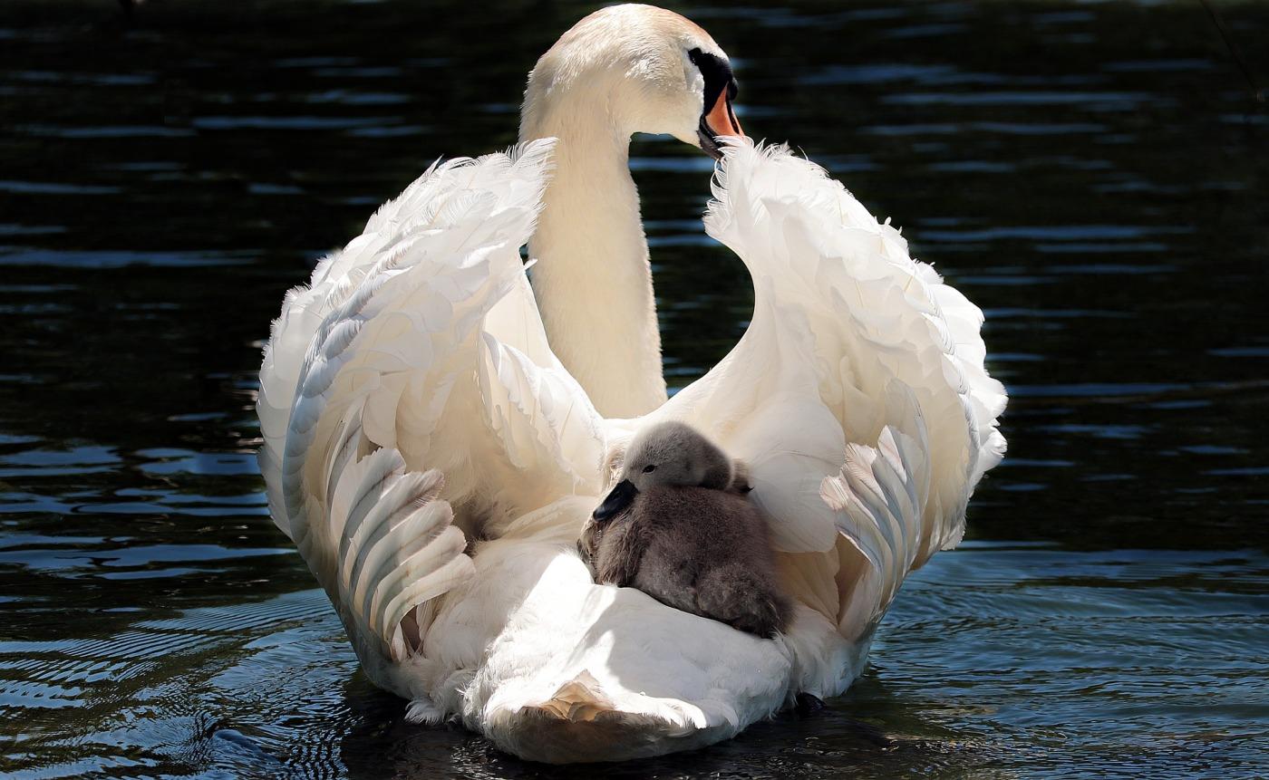 Photo by pixel2013. https://pixabay.com/photos/swan-baby-swan-white-white-swan-2350668/