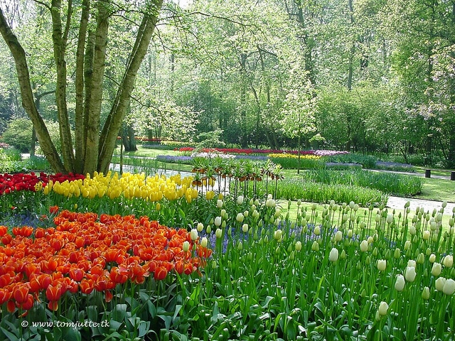Dutch Tulips, Keukenhof Gardens, Holland - 4003 POTD. Photo by Tom Jutte. https://www.flickr.com/photos/hereistom/8058099379/